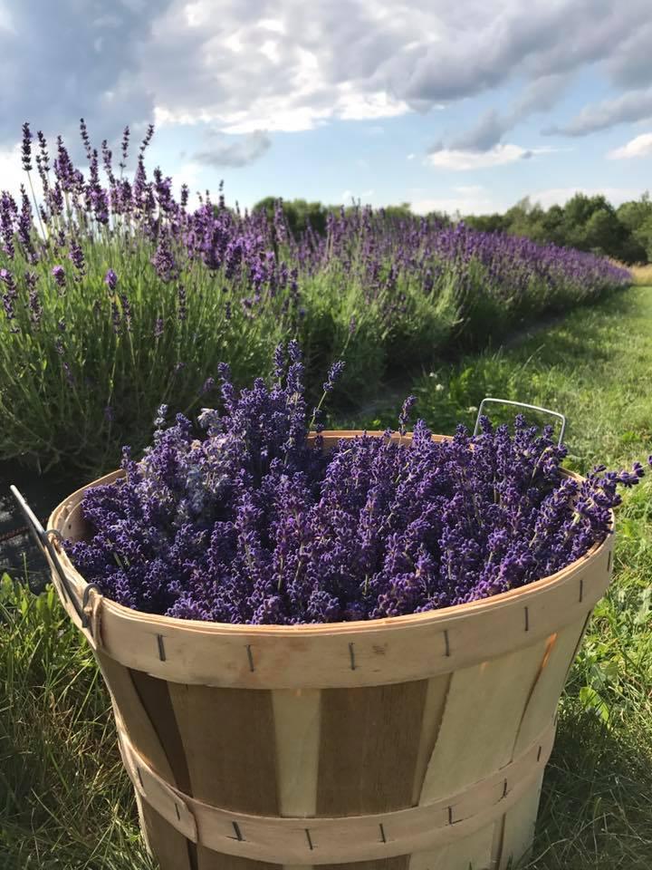 About Moore Manor Lavender
