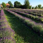 Moore Manor Lavender | growing lavender in Maine