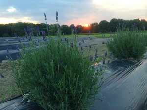 Growing Lavender inMaine