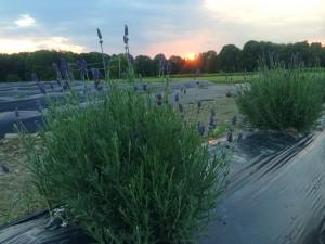 Growing Lavender inMaine