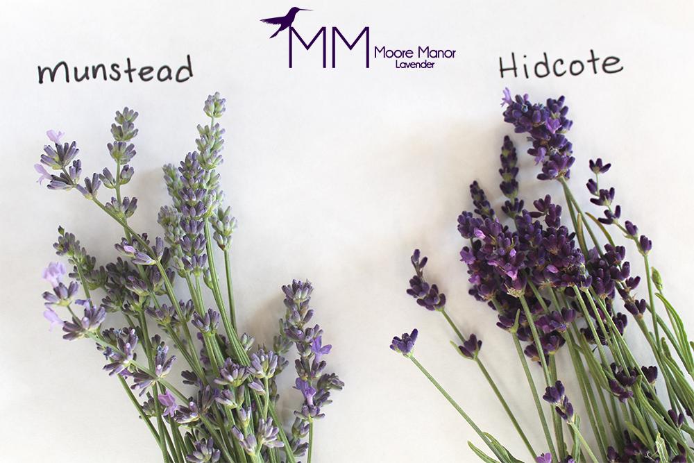 munstead or Hidcote lavender